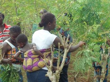 Togo Moringa Kinome 20150323
