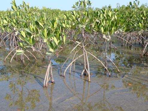 Mangroves au Sénégal – Kinomé coordonne et appui le collectif 5 Delta pour protégrer et valoriser les écosystèmes issus de la mangrove