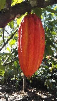 photo cacao